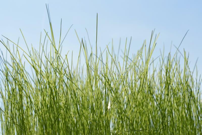 Nytt grönt gräs på bakgrunden för blå himmel fotografering för bildbyråer