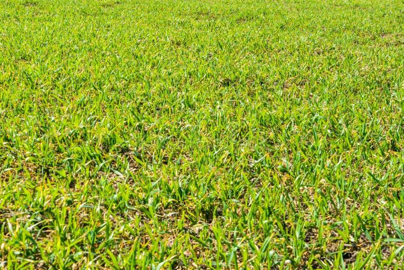 Nytt grönt gräs på den soliga dagen för vår fj?der f?r closeupgr?sgreen Rymligt grönt fält Bakgrund textur för grönt gräs arkivbilder