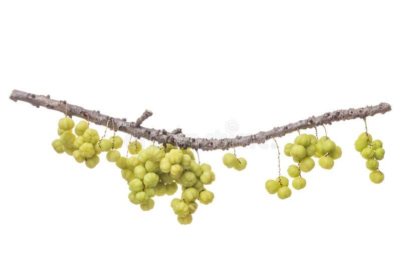 Nytt grönt stjärnakrusbär (tropisk frukt) på filial isolerat arkivbild