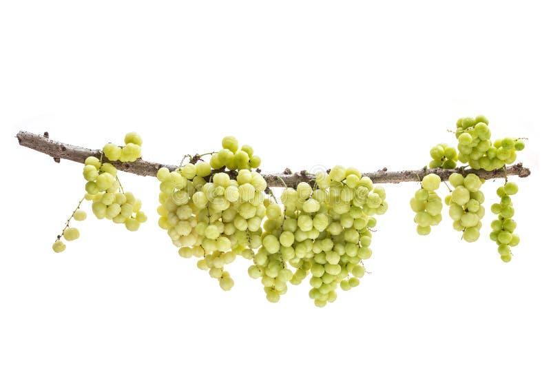 Nytt grönt stjärnakrusbär (tropisk frukt) på filial isolerat royaltyfri fotografi
