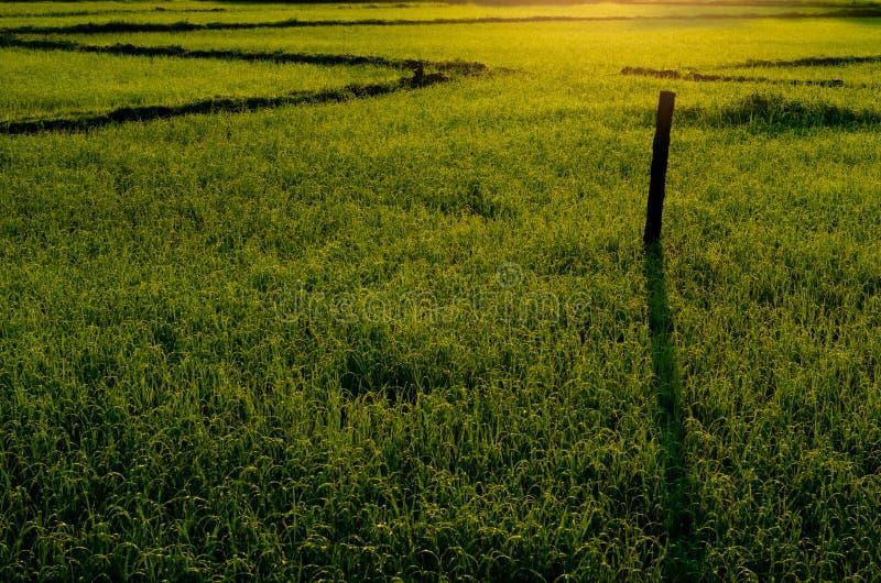 Nytt grönt ungt risträd i fältet royaltyfri fotografi