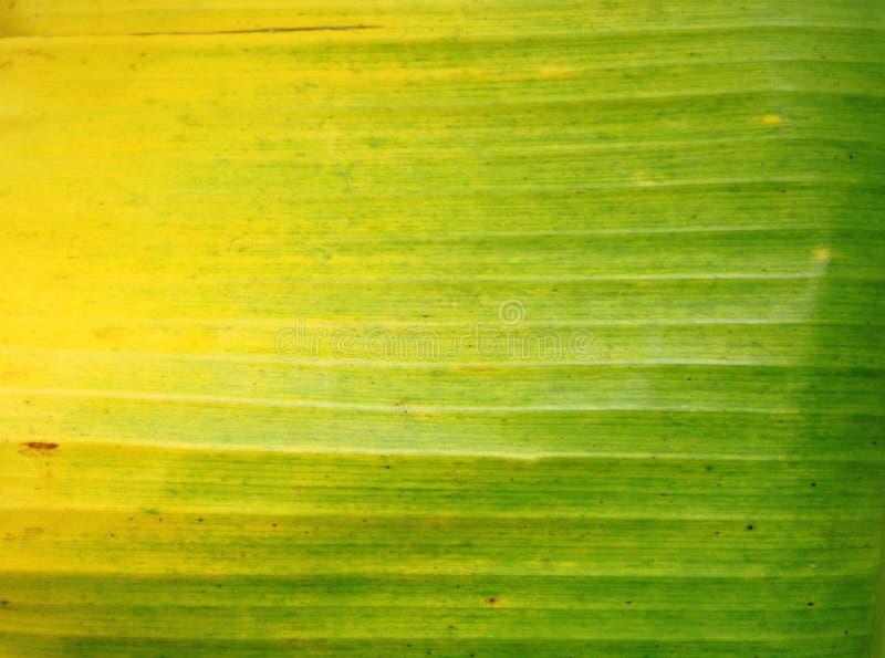 Nytt gr?nt bananblad f?r Closeup arkivfoton