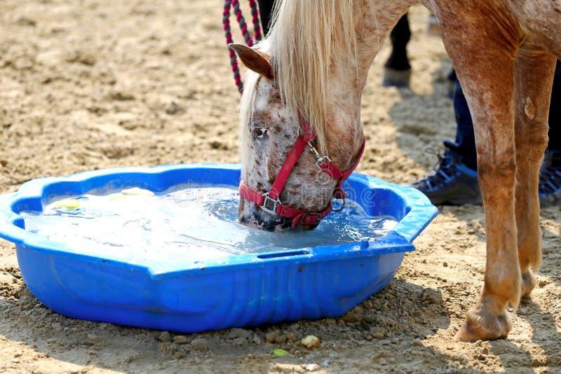 Nytt klart vatten för törstig inhemsk hästdrink på jordningen arkivbilder
