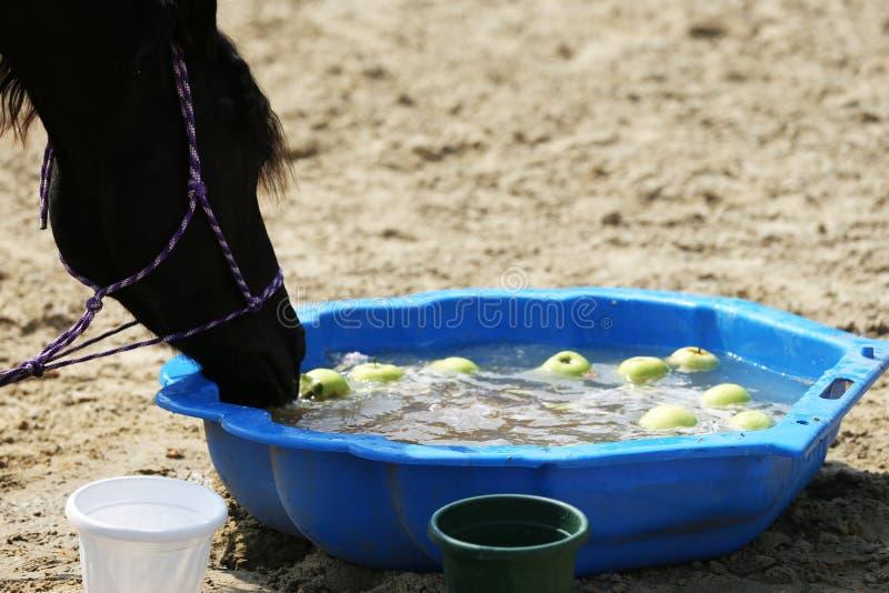 Nytt klart vatten för törstig inhemsk hästdrink på jordningen arkivfoto