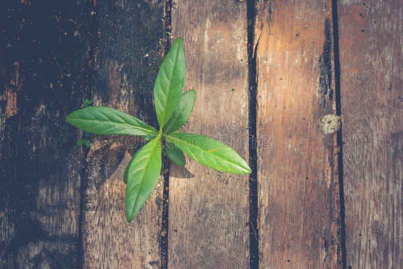 Nytt liv- och idébegrepp: Grönt groddträd som igenom växer från gammal timmer i tappningstil arkivbilder