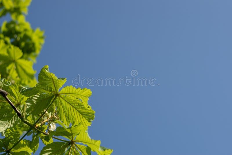Nytt ljust - gröna kastanjebruna sidor på en blå himmel solig dagsommar kopiera avst?nd arkivfoton