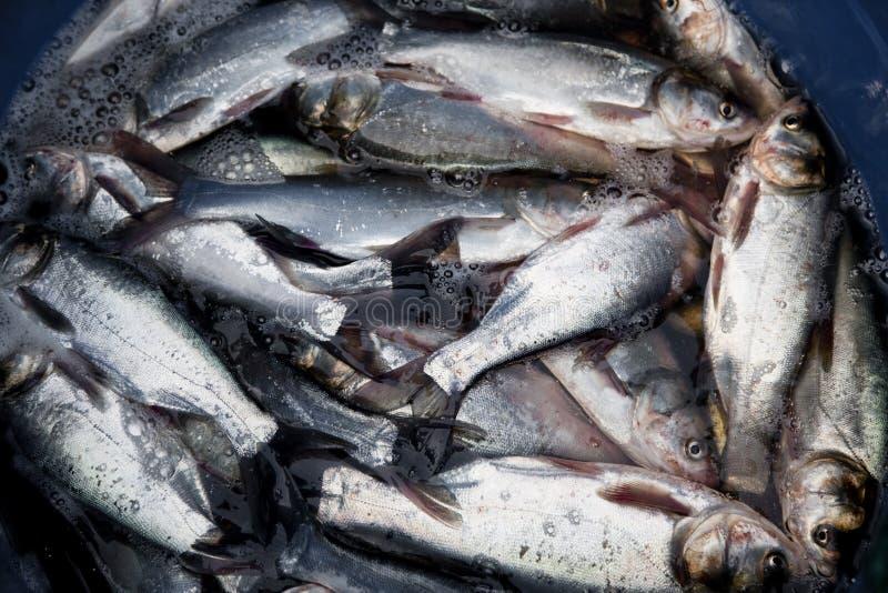 nytt ljust vatten för fisk royaltyfri foto
