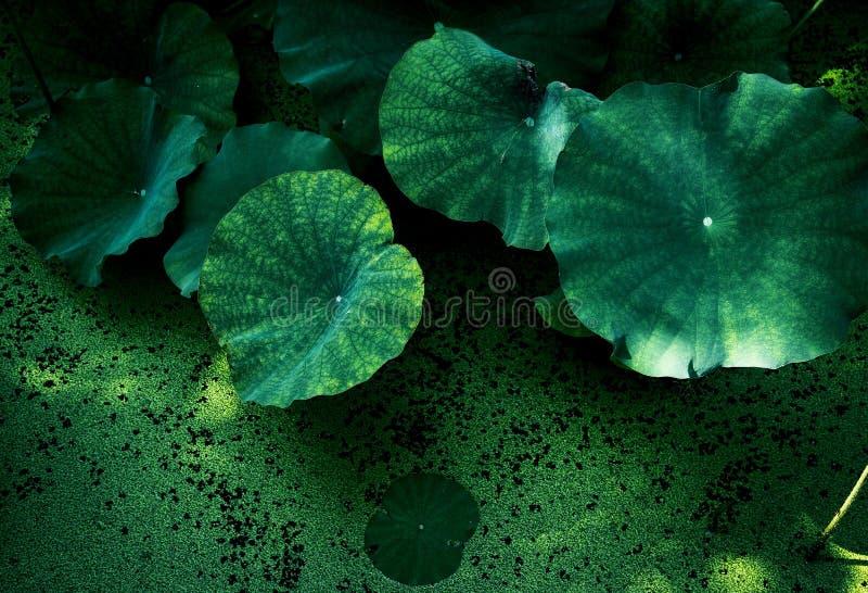 Nytt lotusblommablad i en sjöbackround arkivfoton