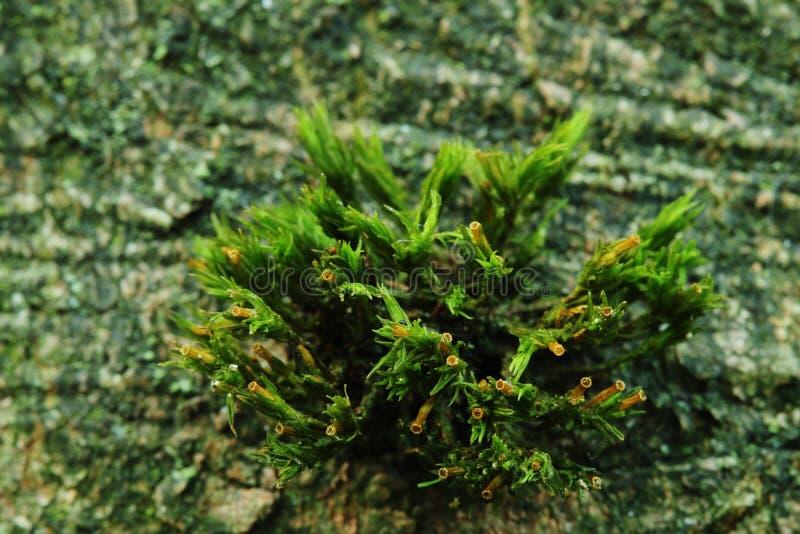 Nytt makrofotoOS, frodig grön mossa med trädskället på bakgrunden royaltyfri foto