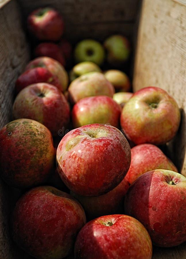 nytt moget för äpplecider arkivfoton