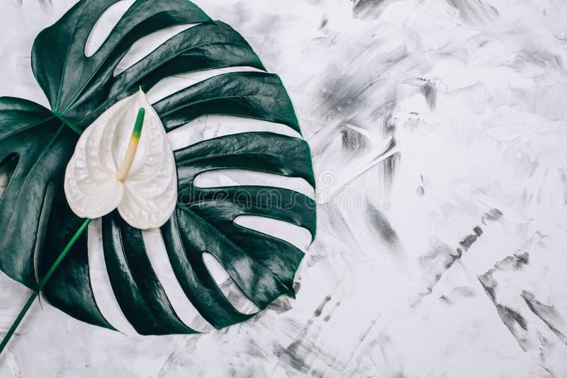 Nytt monsterablad med den vita anthuriumblomman på texturerad konkret bakgrund fotografering för bildbyråer