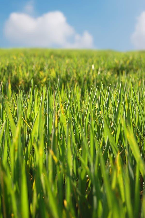 nytt nytt gräs arkivfoto