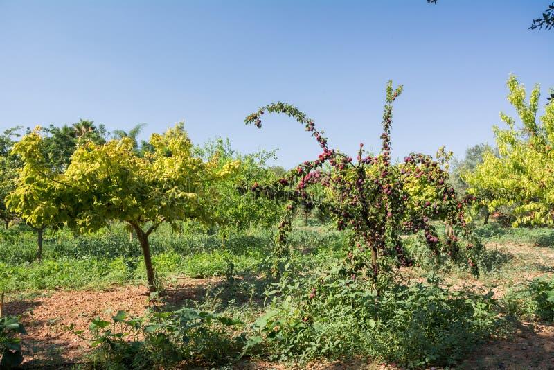 Nytt persikaträd på Mallorca Inca Mallorca, Spanien royaltyfri bild