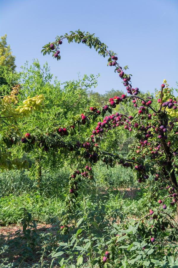 Nytt persikaträd på Mallorca Inca Mallorca, Spanien arkivfoton