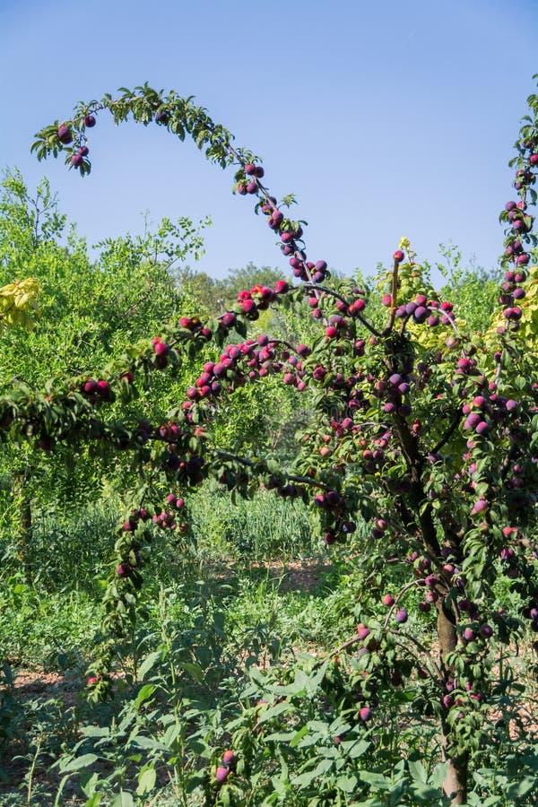 Nytt persikaträd på Mallorca Inca Mallorca, Spanien royaltyfria foton