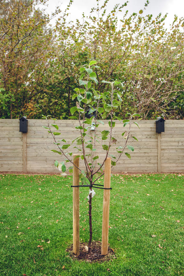Nytt planterat äppleträd i en trädgård fotografering för bildbyråer