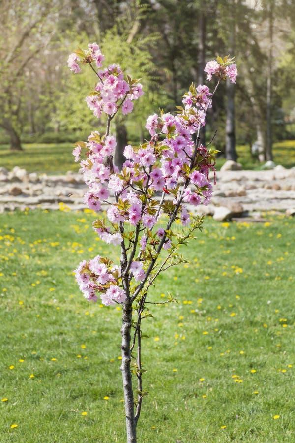 Nytt planterat körsbärsrött träd i en vårträdgård royaltyfri bild