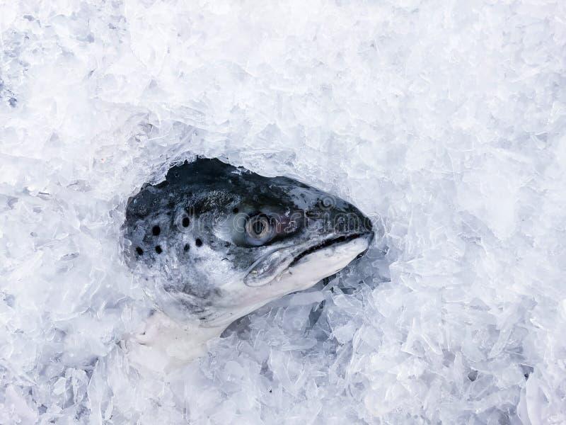 Nytt rått laxhuvud som täckas med kall is i bästa sikt för ny havs- marknad royaltyfria bilder