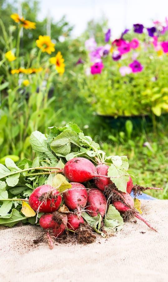 Nytt skördad rädisa Röda nya grönsaker på säckvävsäckar arkivbild