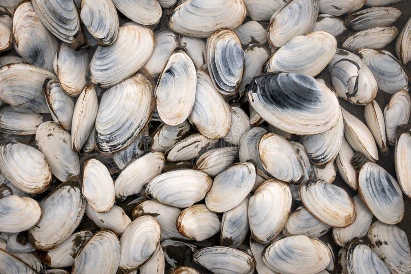 Nytt skördade lösa musslor från ostkusten arkivbilder