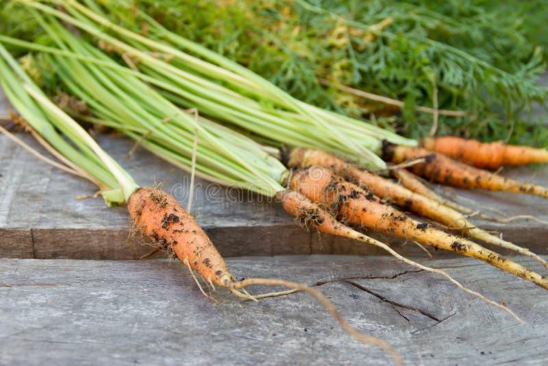 Nytt skördade morötter från den organiska trädgården fotografering för bildbyråer
