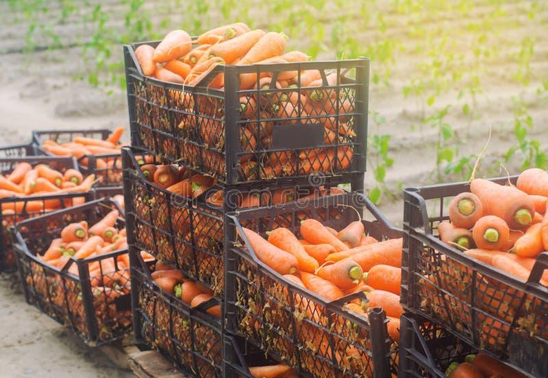 Nytt skördade morötter i askar Eco ordnar till vänliga grönsaker till salu Sommarskördplockning Jordbruk lantbruk Agro royaltyfria bilder