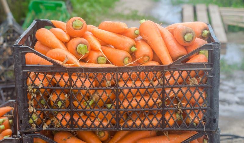 Nytt skördade morötter i askar Eco ordnar till vänliga grönsaker till salu Sommarsk?rdjordbruk lantbruk Agro-bransch royaltyfri bild