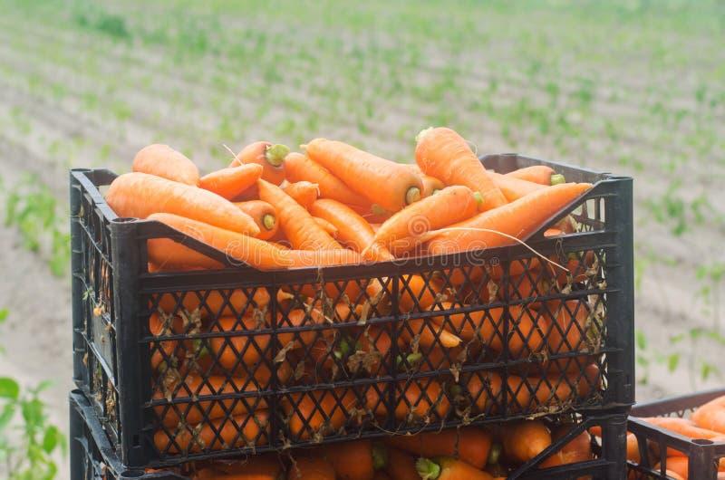 Nytt skördade morötter i askar Eco ordnar till vänliga grönsaker till salu Sommarsk?rdjordbruk lantbruk Agro-bransch arkivfoto