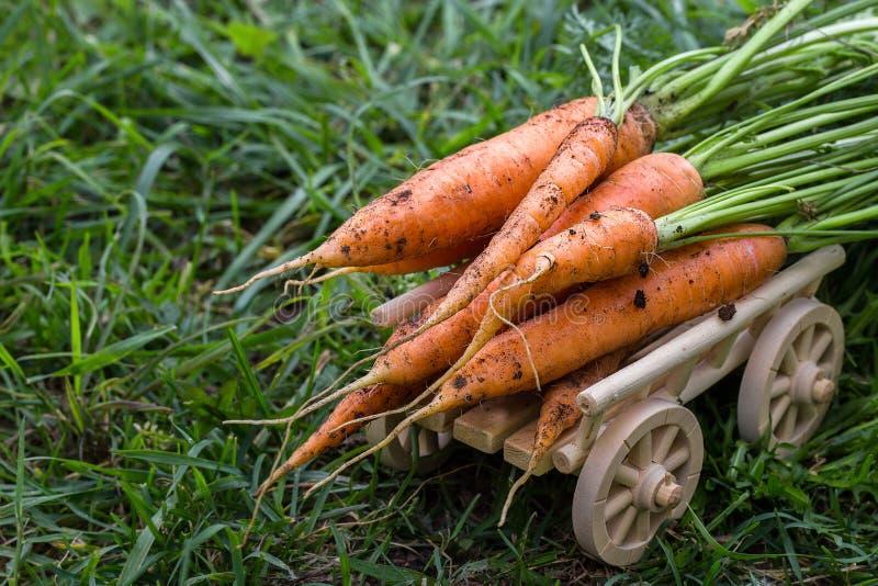 Nytt skördade morötter i organisk grönsakträdgård royaltyfria bilder