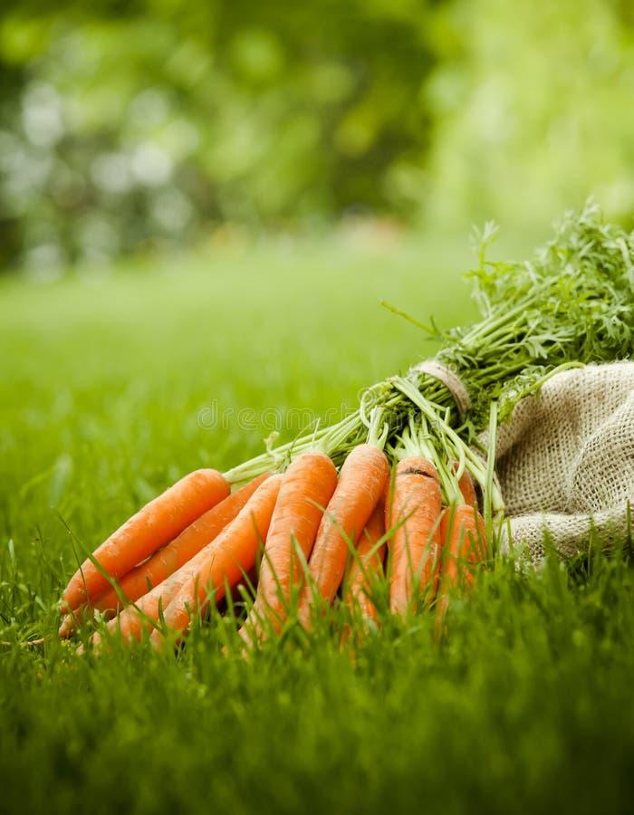 Nytt skördade organiska morötter från trädgården fotografering för bildbyråer