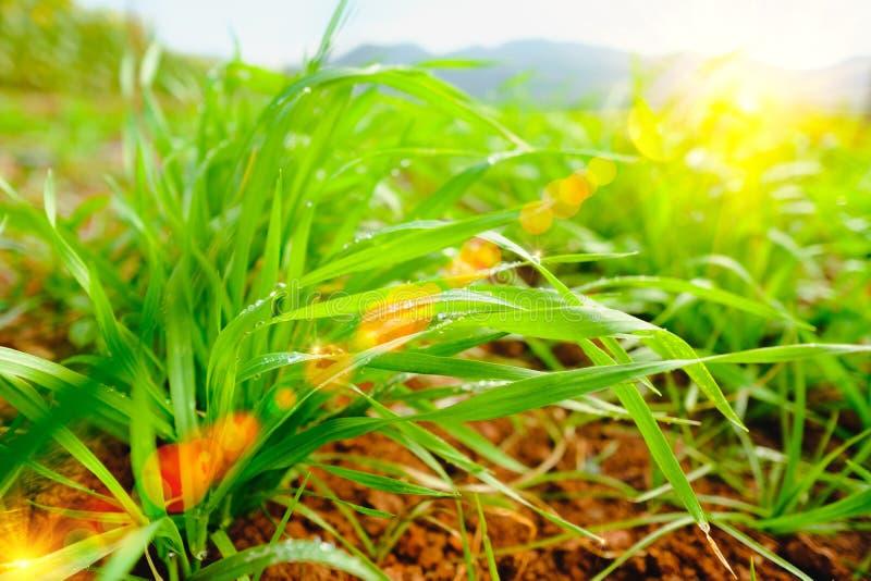Nytt slut för grönt gräs upp med vattendroppe och belysningsignalljuseffekt royaltyfri foto