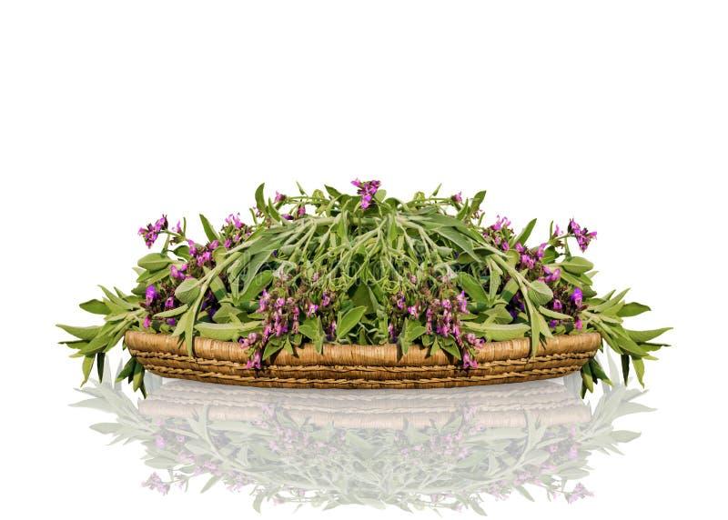 Nytt snitt som blommar vis man på det vide- trämagasinet En grupp av kökörtsalvia med reflexion som isoleras på vit bakgrund arkivfoton