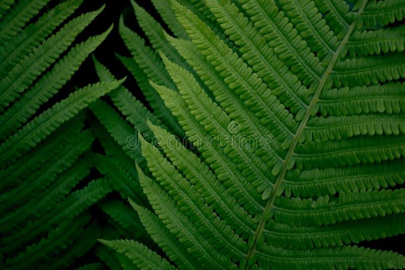 Nytt ungt ljust - grön ormbunke, textur för naturlig bakgrund royaltyfri bild