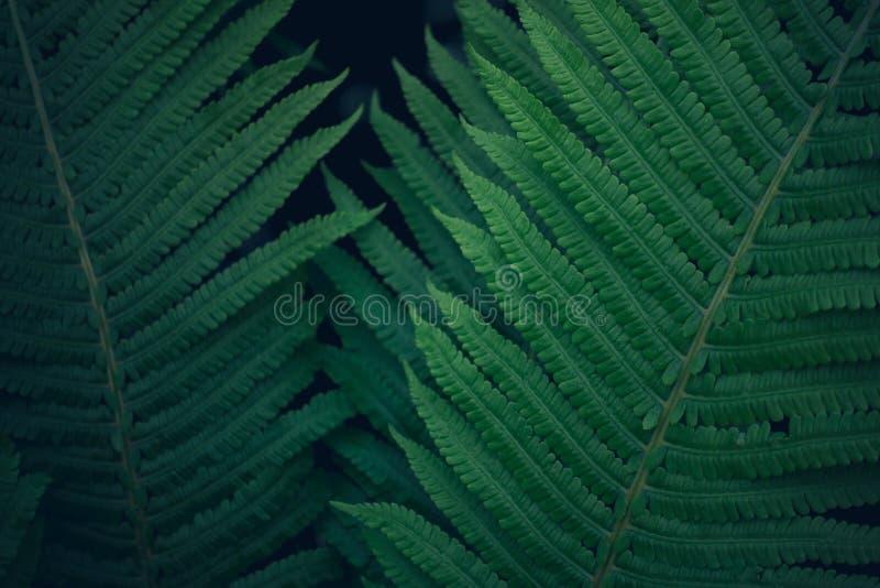 Nytt ungt ljust mörker - grön ormbunke, textur för naturlig bakgrund royaltyfria bilder
