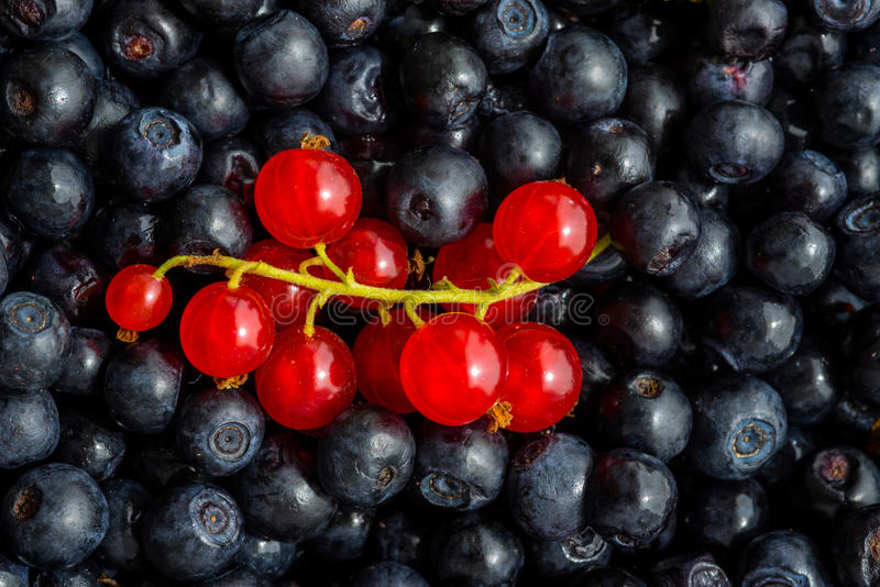 Nytt vald blåbär och redcurrant royaltyfri bild
