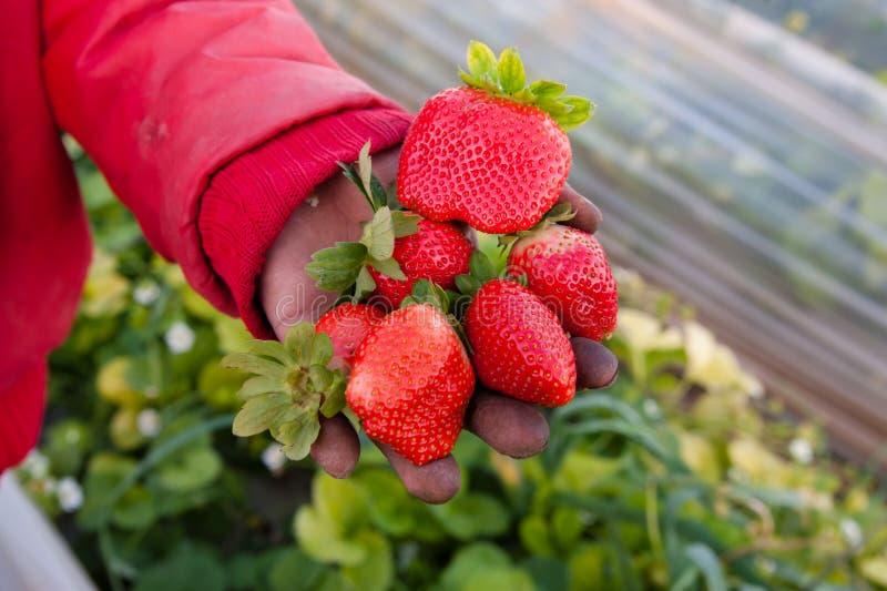 nytt valda jordgubbar royaltyfri foto