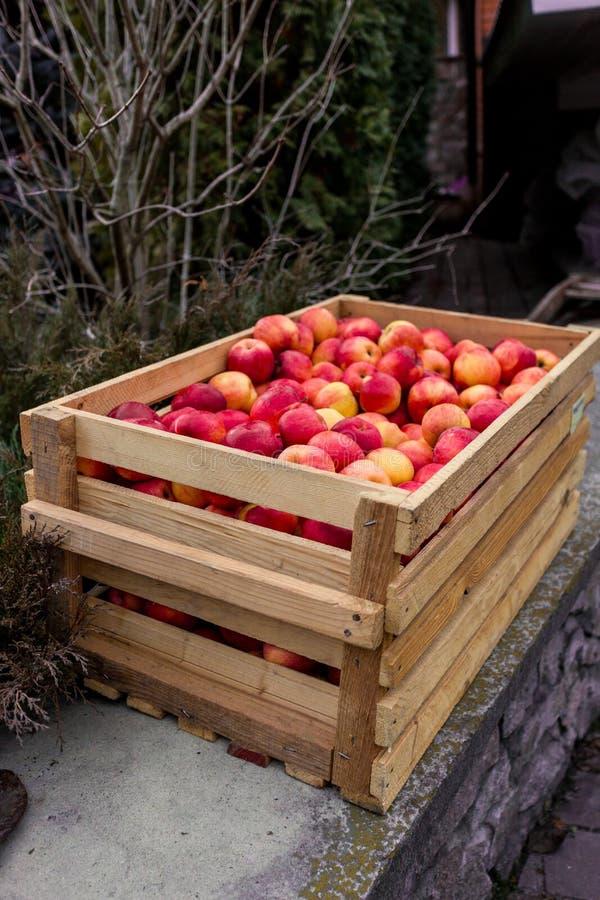 Nytt valda röda äpplen i träspjällåda royaltyfri foto
