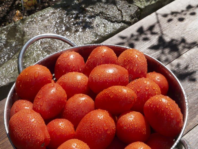 Nytt valde och tvättade Roma tomater i en collander på en träbänk i sommaren solsken arkivbild