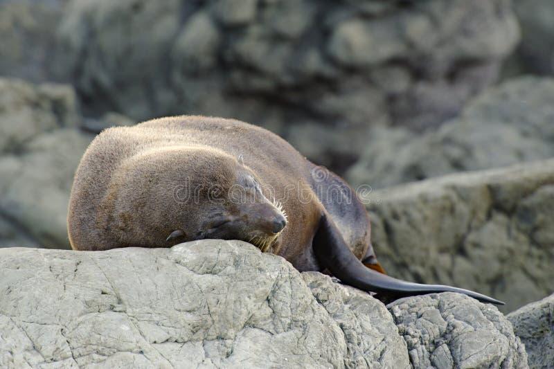 NZ de zomer van 2011 - Kust Kaikoura - de Kolonie van de Verbinding royalty-vrije stock afbeeldingen
