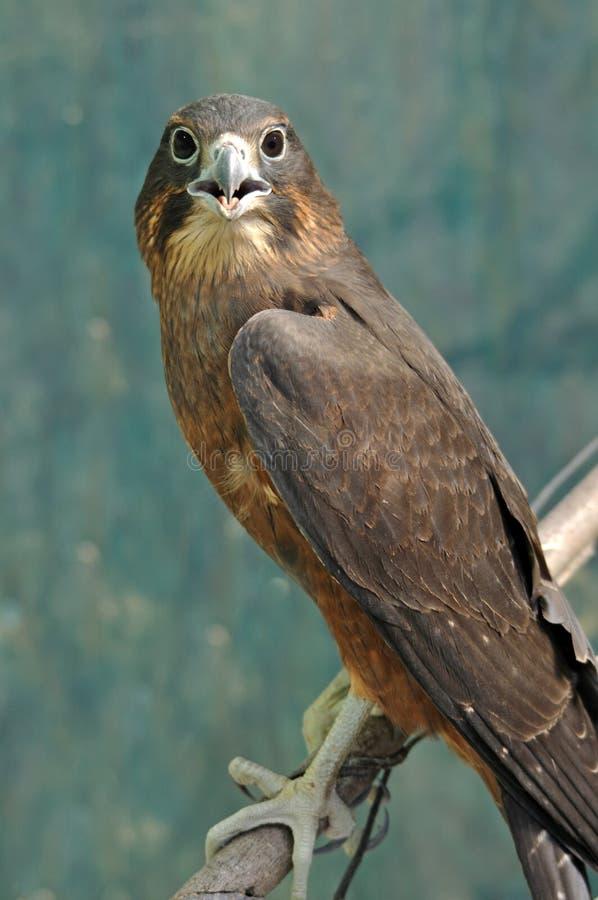 Free NZ Falcon Royalty Free Stock Image - 30231156