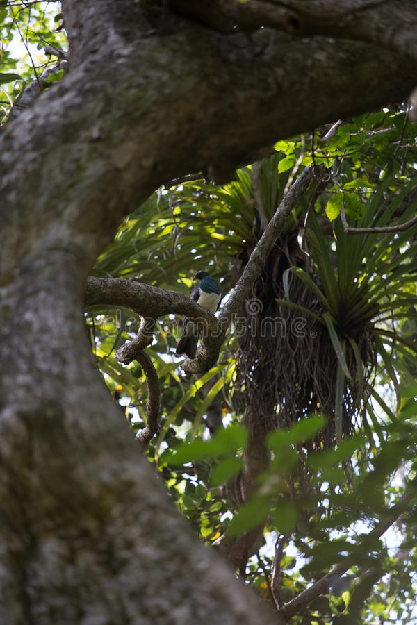 Wood pigeon tree in a forest in NZ royalty free stock photography