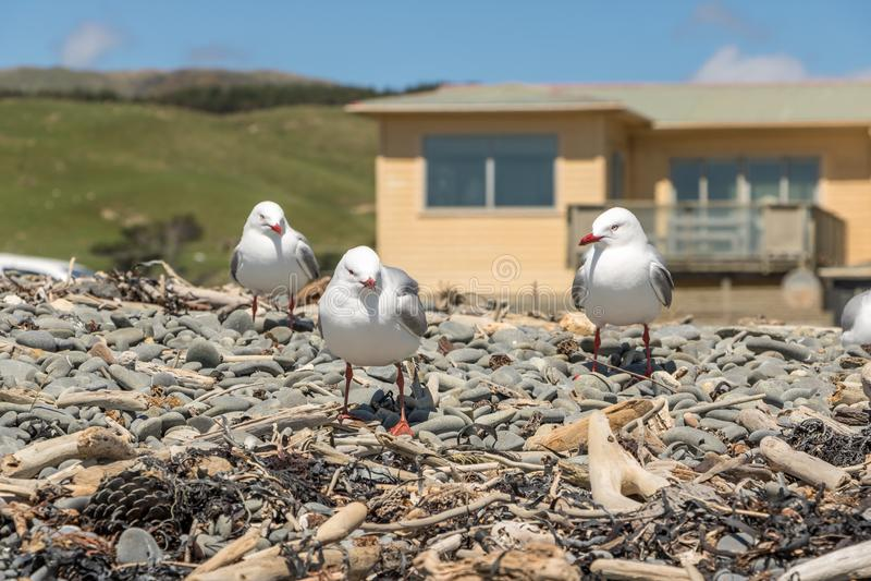 NZ Seagulls Przed Plażowym Bach domem zdjęcia royalty free