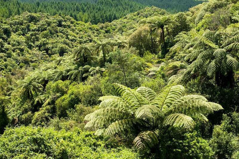NZ Tree Fern Forest. MW: New Zealand native fern tree forest. Ponga fern, or punga A rich green palette of luxuriant foliage royalty free stock photo