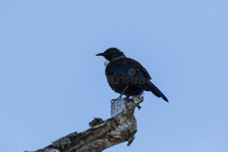 NZ Tui πουλί στοκ εικόνες με δικαίωμα ελεύθερης χρήσης