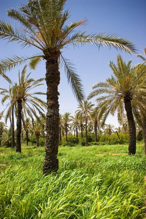 Oásis verdes das palmeiras imagem de stock