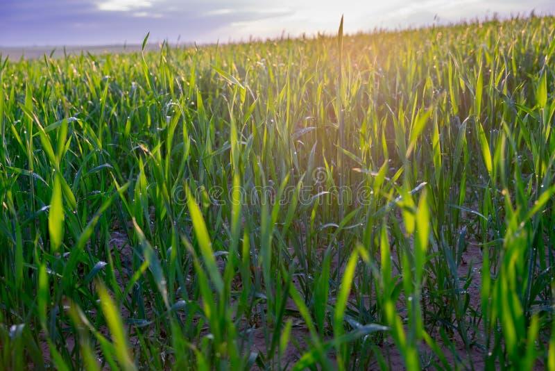 oändlighetsgräsplanfält efter regnig dag på solnedgångtid royaltyfri foto