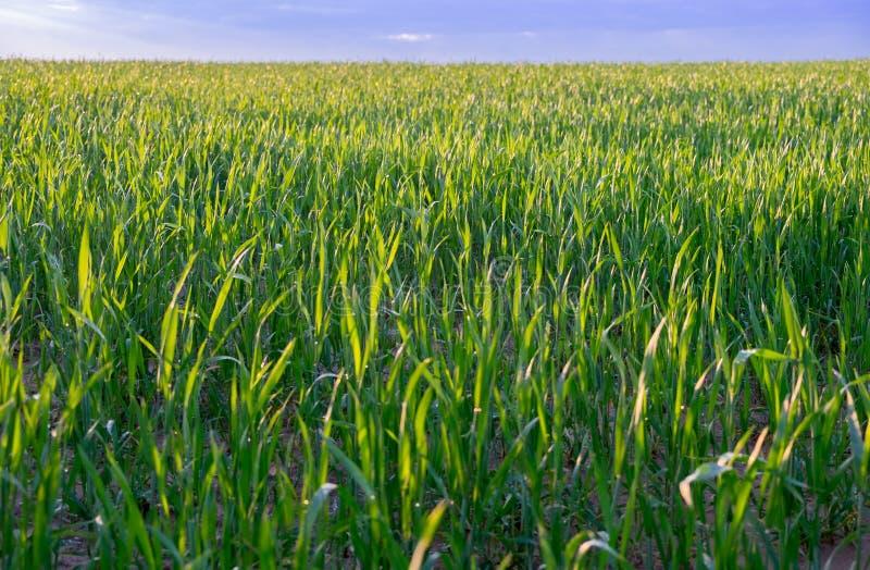 oändlighetsgräsplanfält efter regnig dag på solnedgångtid royaltyfria foton