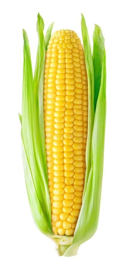 Oído de maíz aislado fotografía de archivo libre de regalías