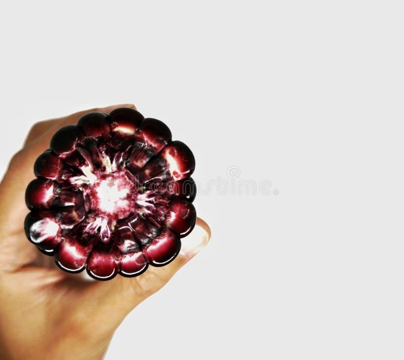 Oído de maíz púrpura en mano humana que muestra la semilla y la mazorca imágenes de archivo libres de regalías