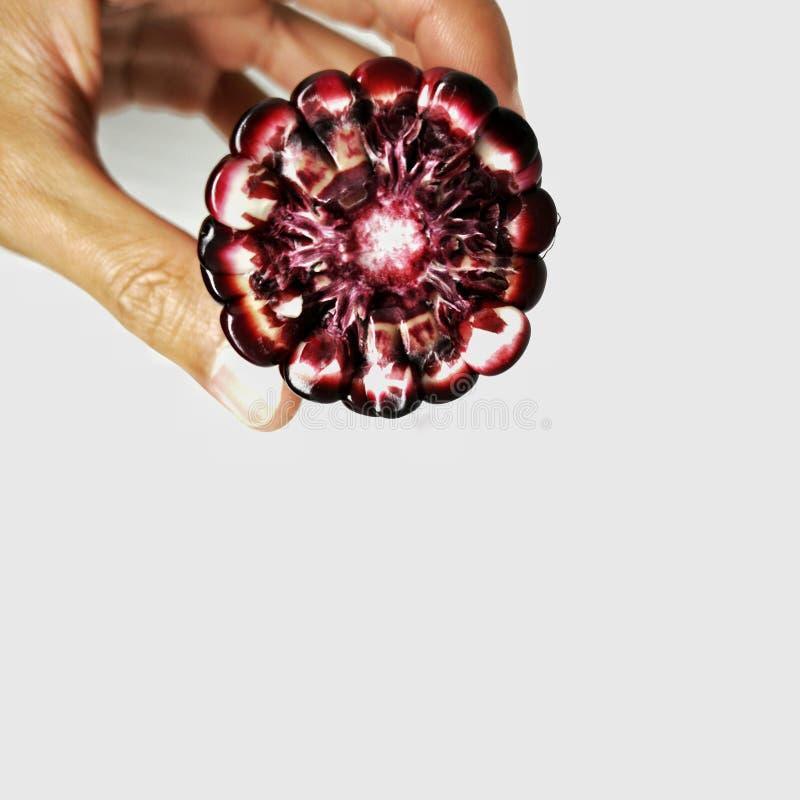 Oído de maíz púrpura en mano humana que muestra la semilla y la mazorca foto de archivo